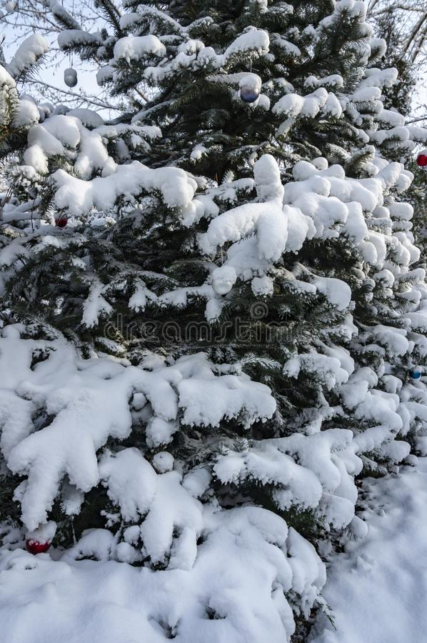 Closeup of a vertical fragment of a blue Christmas tree covered with white fluffy snow. Spruce decorated with Christmas balls royalty free stock photography