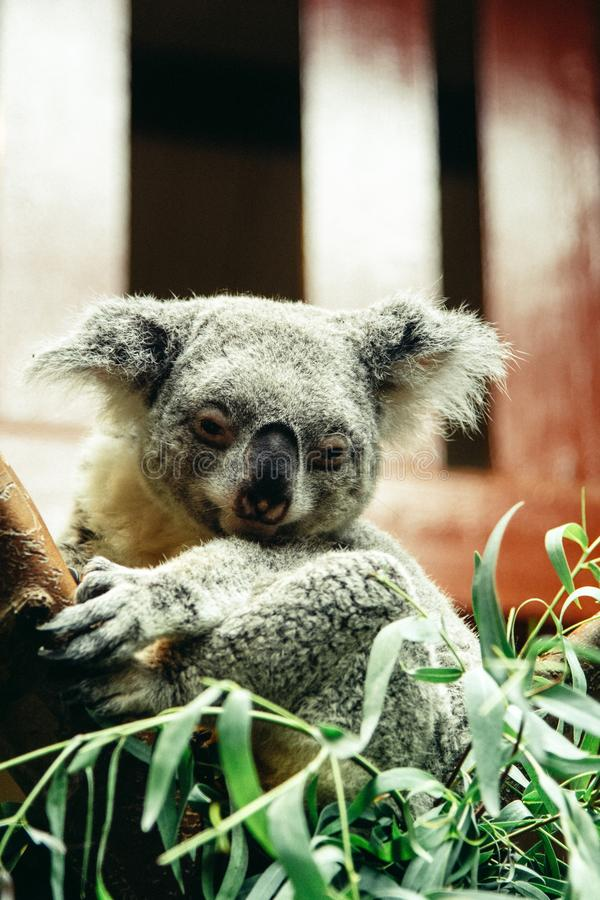 Closeup vertical shot of a cute sleepy koala on a branch of a tree with a blurred background stock photo