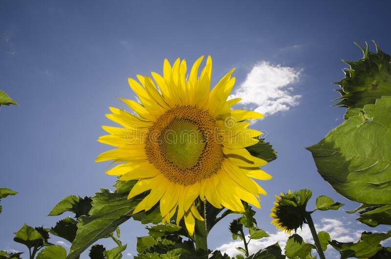 Closeup of a vibrant sunflower blooming at a field against a blue sky. A closeup of a vibrant sunflower blooming at a field against a blue sky royalty free stock images