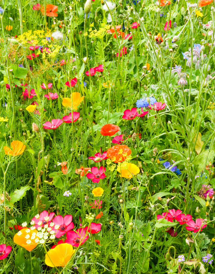 Closeup of a Vibrant Wildflower Meadow. Closeup of a beautiful wildflower meadow with vibrant and colorful flowers illuminated by the sun royalty free stock photos