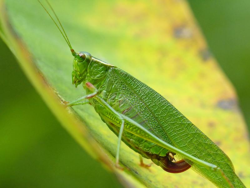 Adult Katydid 2 royalty free stock image