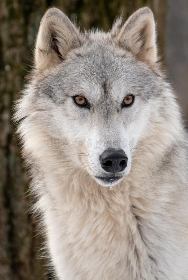 A closeup view of an Arctic Wolf`s face with a drooling mouth royalty free stock image