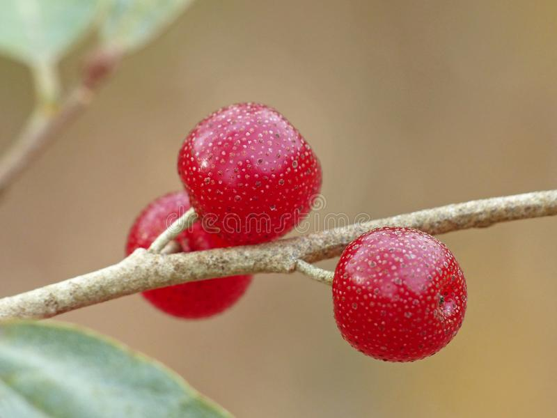 Autumn Olive Berries royalty free stock photos