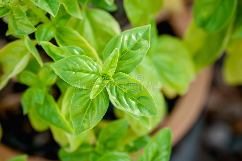 Closeup view of basil growing in a terra cotta pot in a garden. Looking down at the unfolding quartet of leaves growing up from a basil plant in a terra cotta royalty free stock image