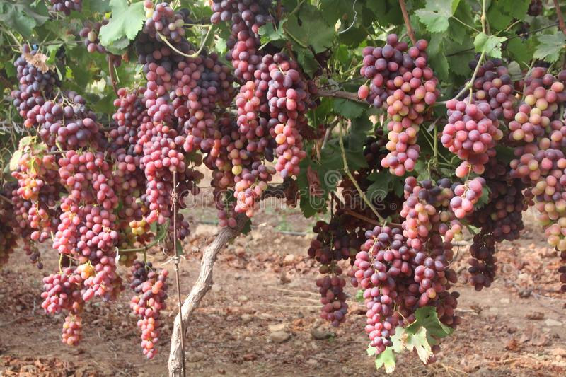 Beautiful clusters of purple grapes on a grapevine in a vinyard, ready to Harvest. Closeup view of beautiful clusters of purple grapes on a grapevine in a stock image