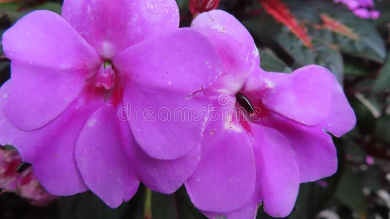 Closeup view of beautiful purple flower at the garden. Floral background concept for art and quotes wallpaper stock images