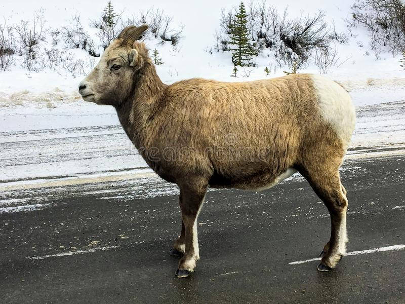 A closeup view of a bighorn sheep, also known as Ovis canadensis, walking along the highway on a winter day in Jasper royalty free stock image