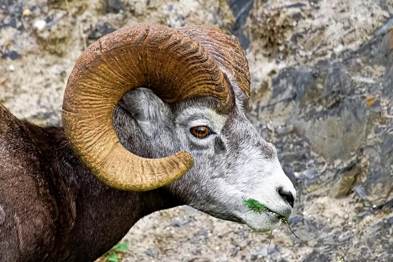 A closeup view of a bighorn sheep eating grass stock photos