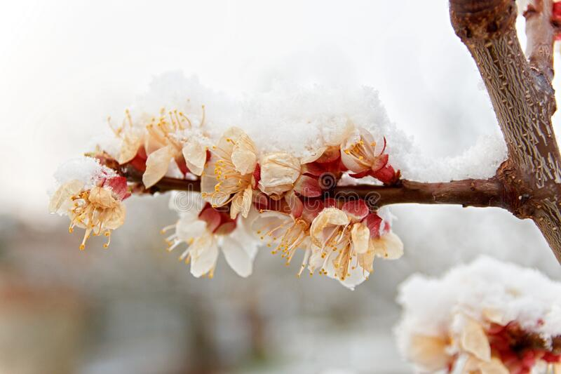 Closeup view of blossoming apricot tree twig. White blooms damaged by sudden frost and covered by layer of fresh snow. Spring in orchard. Shallow depth of stock photo
