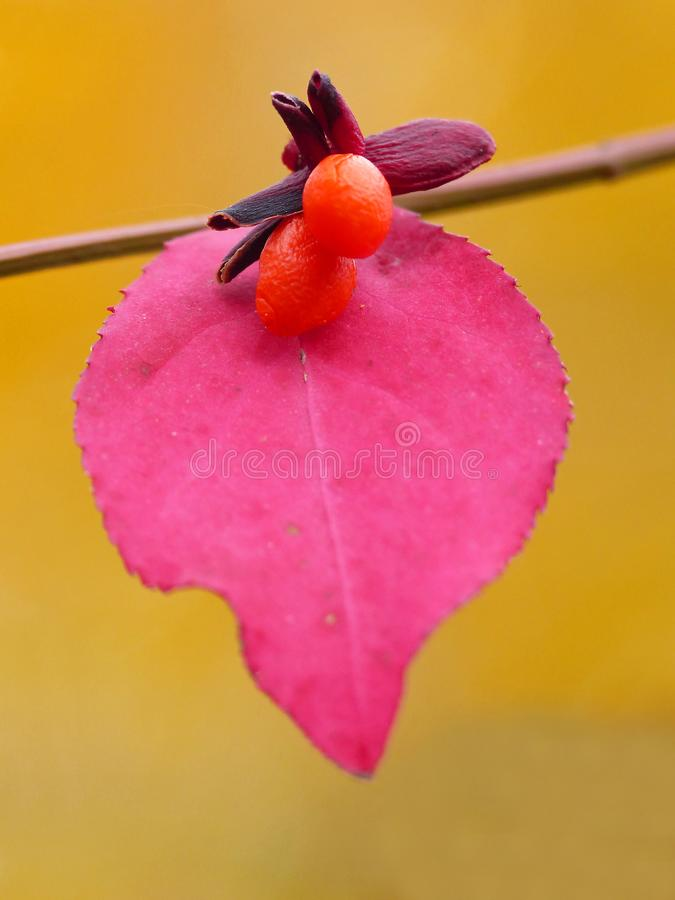 Burning Bush Berries And Red Leaf stock images