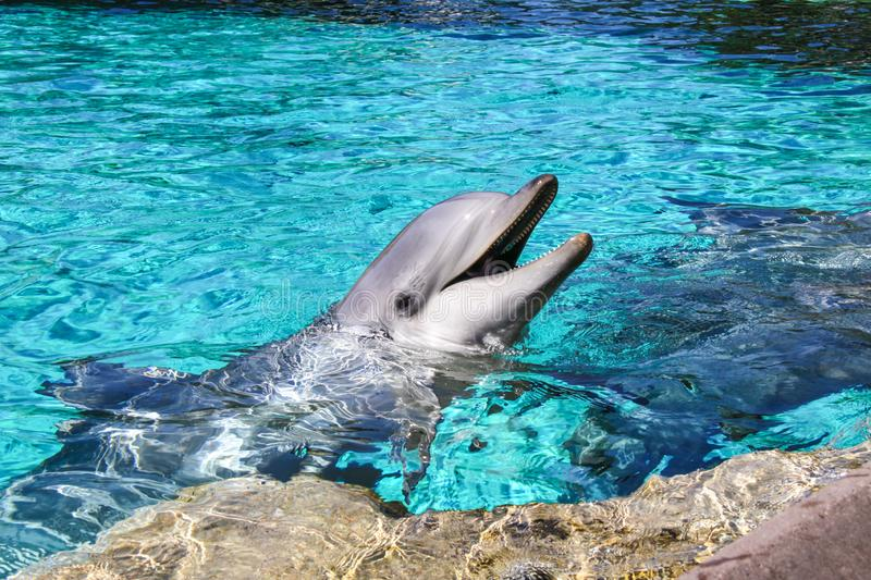Portrait of a common bottlenose dolphin in a pool stock images
