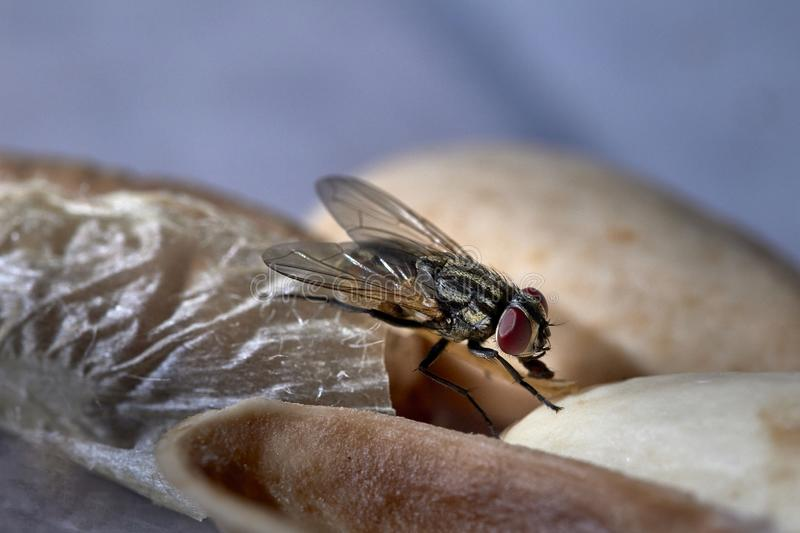 Closeup view of a Common House Fly stock photo