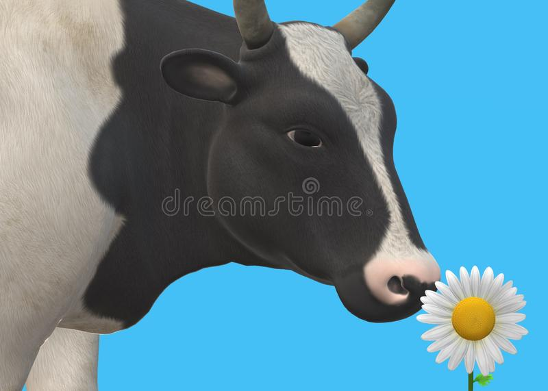A closeup view of a cow cattle sniffing a single daisy flower against a light navy sky blue backdrop royalty free stock photo