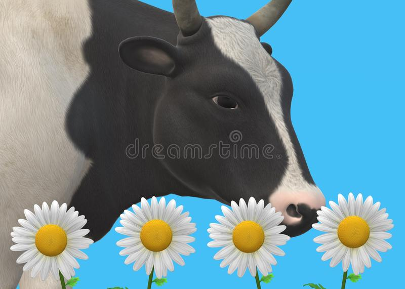 A closeup view of a cow cattle sniffing at some  daisy flowers against a light navy sky blue backdrop royalty free stock photos