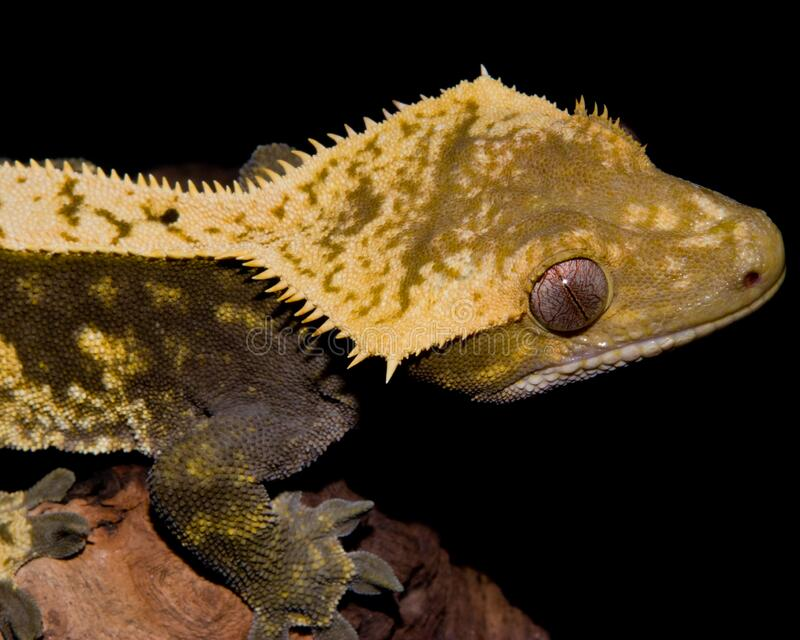 Closeup view of a Crested Gecko stock image