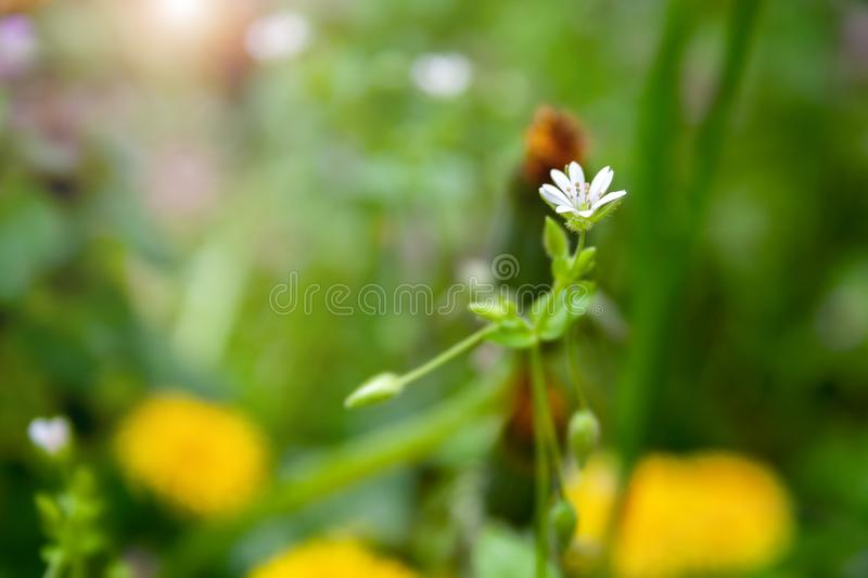 Closeup view of a delicate little white flower on a thin stalk against a sunny blurred yellow-green background stock photos