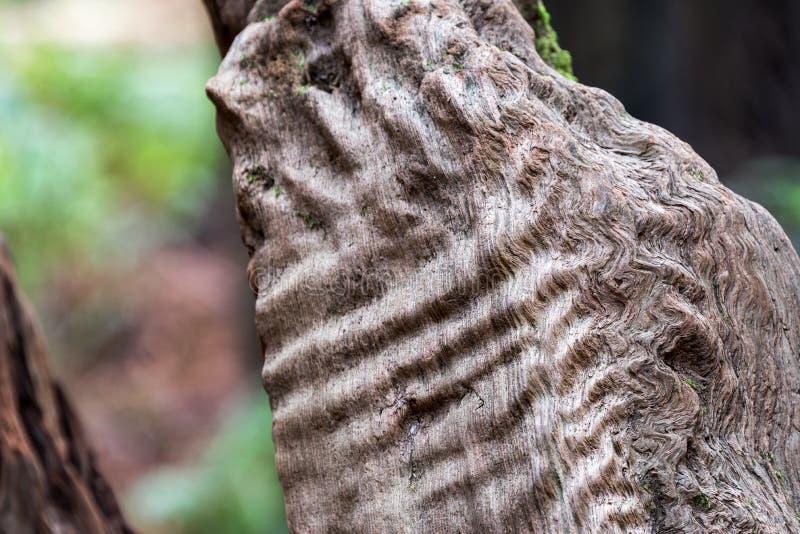 Redwood Tree Details Closeup royalty free stock photos