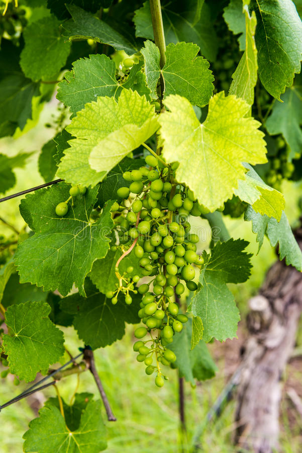 Closeup view of early spring grapes in a vineyard. Not yet mature royalty free stock photo