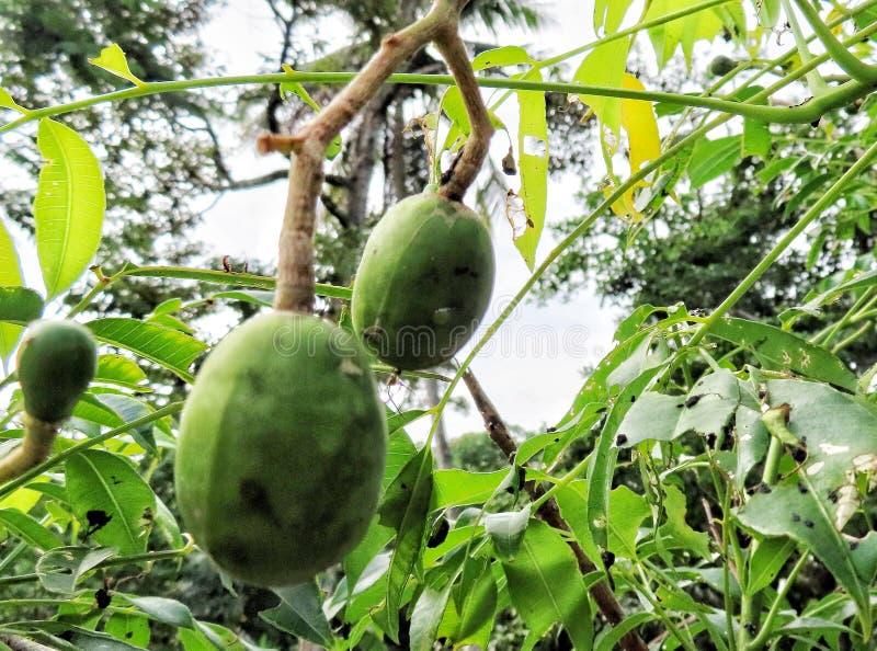 Closeup view of famous Malaysian fruit known as Kedondong, fruit concept stock photography