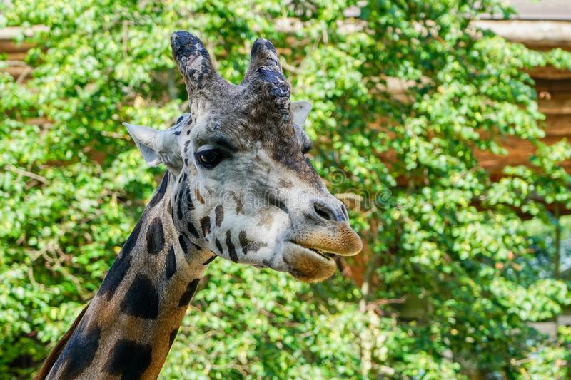 Closeup view of a giraffe against green foliage royalty free stock image