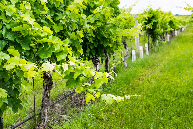 Closeup view of a grape vine with row of grapes. In the background royalty free stock photography