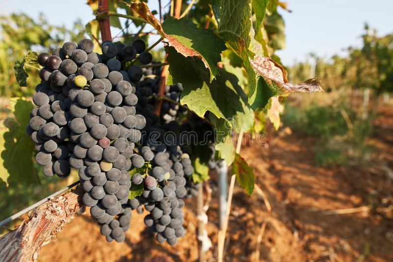Closeup view of grapevine with vineyard in background stock image