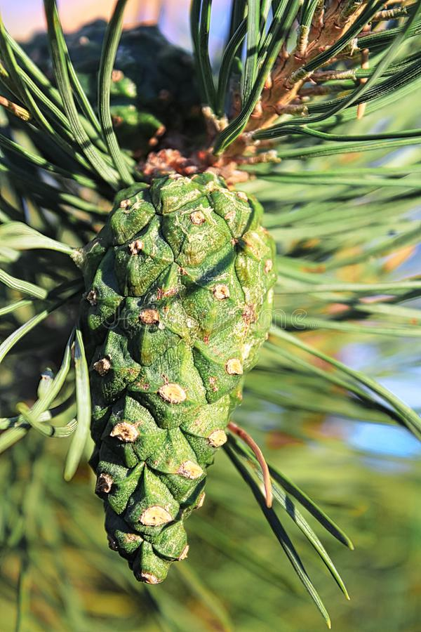 Closeup view of a green pine cone in summer royalty free stock photography