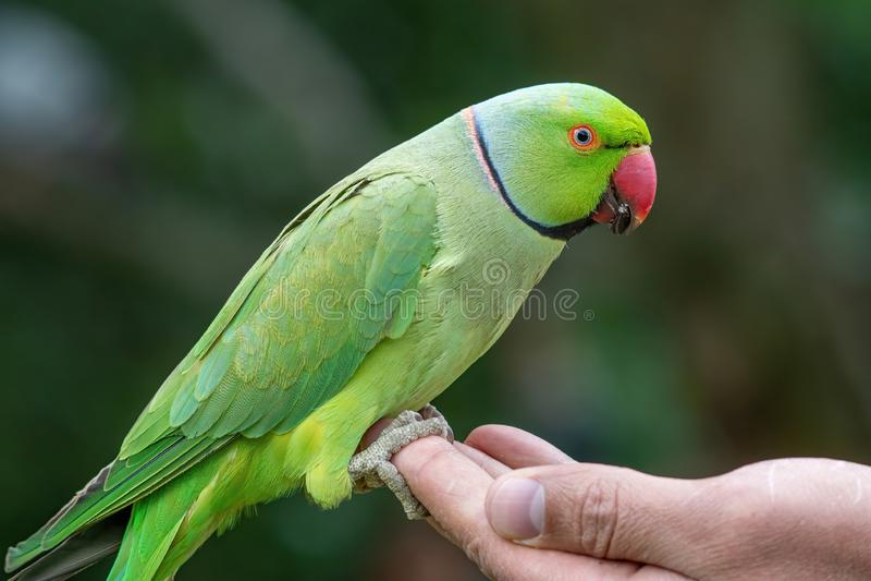 Closeup view of the green rose-ringed Psittacula krameri parakeet royalty free stock image