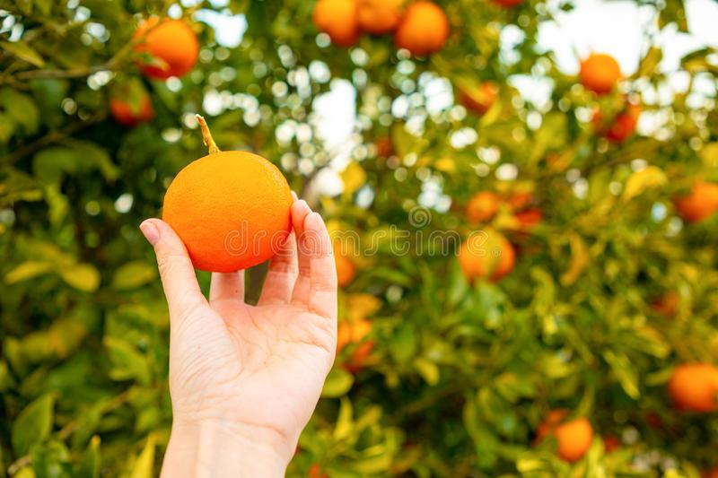 Closeup view of hand with orange on the tree background in a Sicilian grove, Italy. Closeup view of hand with orange on the tree background in a Sicilian grove stock photography
