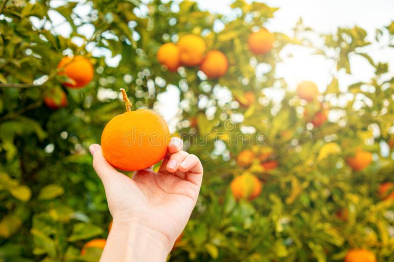 Closeup view of hand with orange on the tree background in a Sicilian grove, Italy. Closeup view of hand with orange on the tree background in a Sicilian grove royalty free stock photo