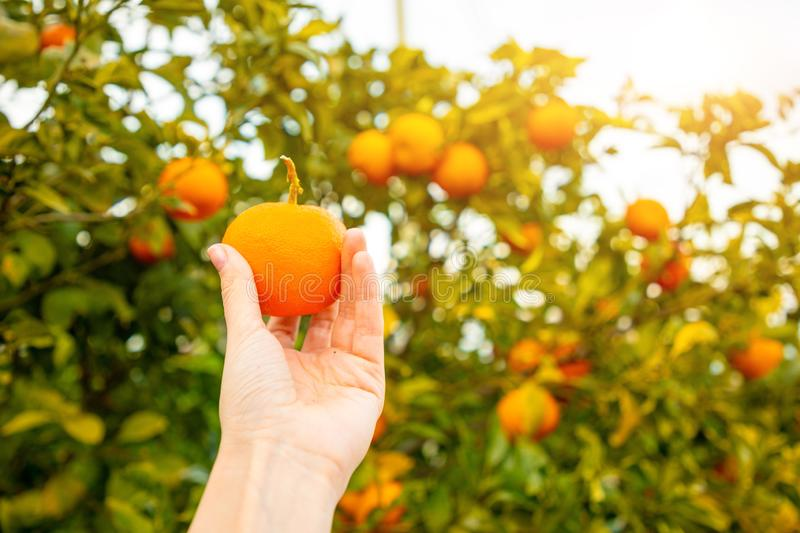 Closeup view of hand with orange on the tree background in a Sicilian grove, Italy. Closeup view of hand with orange on the tree background in a Sicilian grove royalty free stock images