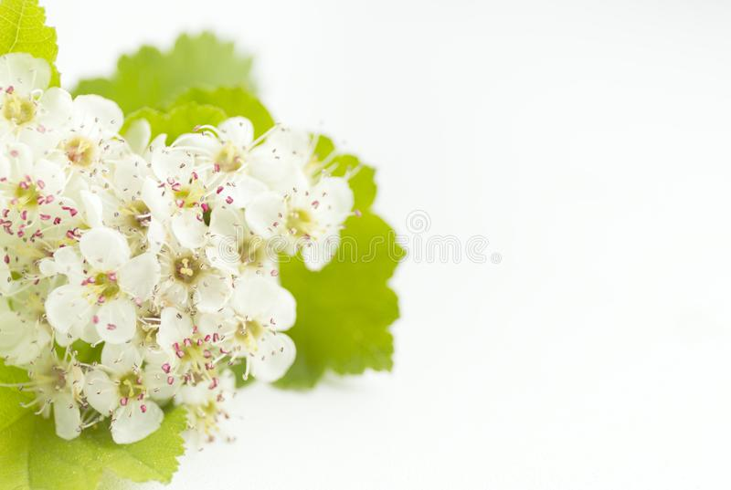 Closeup view of hawthorn blossom on white background. Macro spring flower template. Floral mockup for greeting. Space stock photography