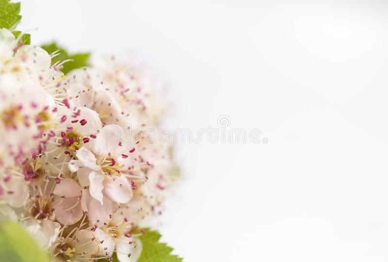 Closeup view of hawthorn blossom on white background macro spring closeup view of hawthorn blossom on white background macro spring flower template floral mockup for greeting space for text mightylinksfo