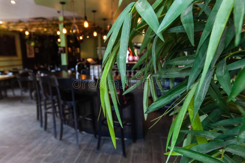Green plants in modern restaurant. A closeup view of healthy green tree leaves at the entrance to an environmentally friendly cafe, empty tables are seen in royalty free stock photo
