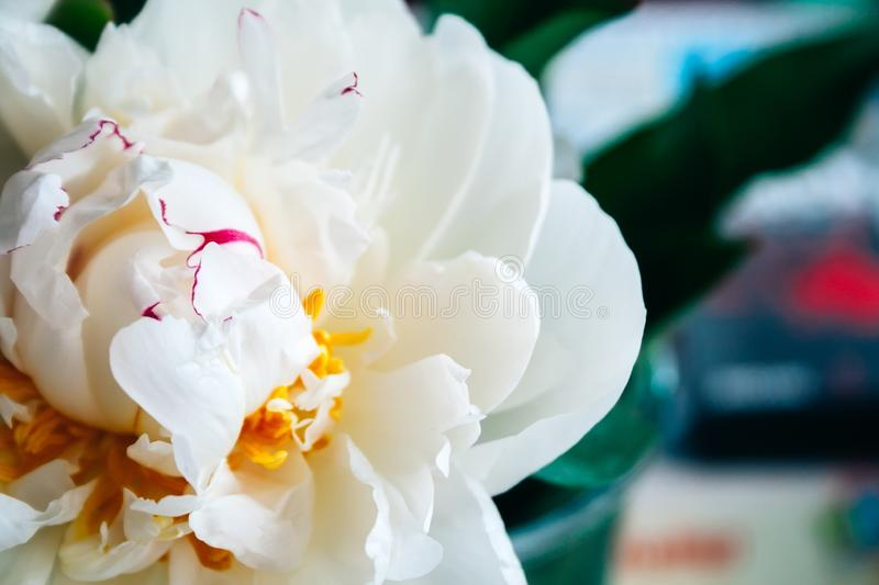 Closeup view of a lush white pink yellow peony against a blurred background in a pleasant tint. Beautiful flower as a gift stock photography