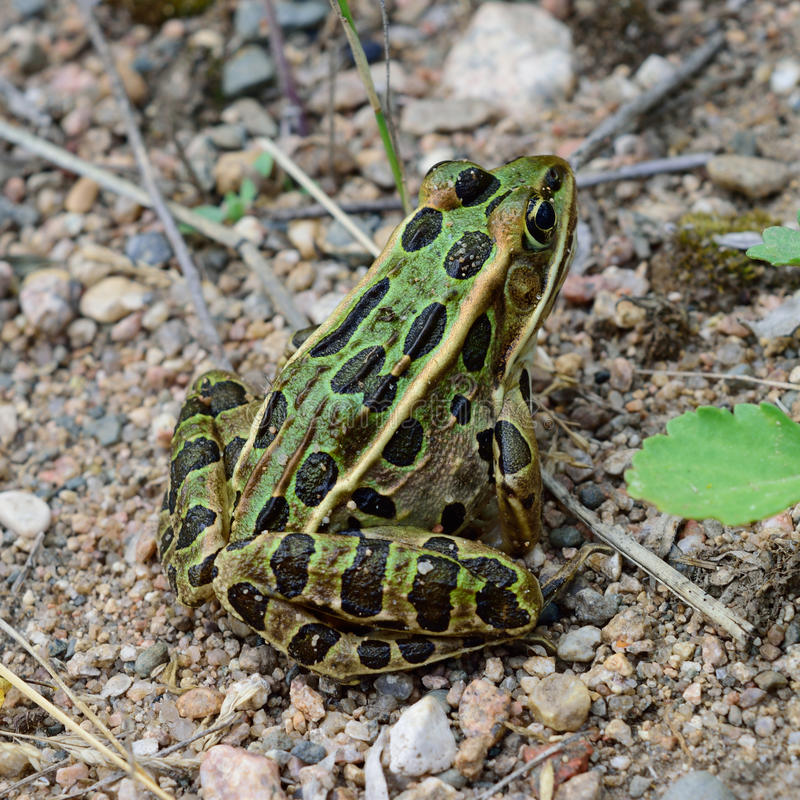 Closeup View of Northern Leopard Frog (Lithobates pipiens). Close-up of Northern leopard frog (Lithobates pipiens) on sandy beach royalty free stock photos