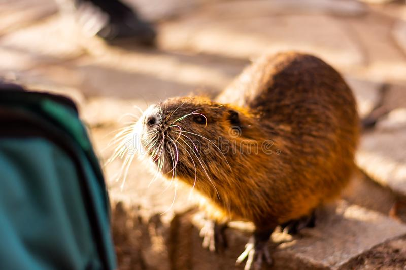 Closeup view of nutria rat animal. Tanned nutria is playing with tourist and is waiting for feeding. Wildlife animal is living. With people in big city royalty free stock image