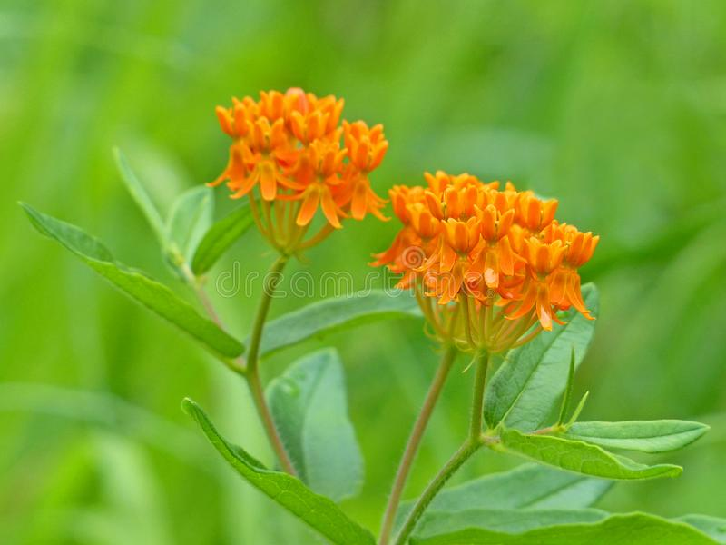 Orange Butterfly Weed. Closeup view of Orange Butterfly Weed with a green leaf background royalty free stock images