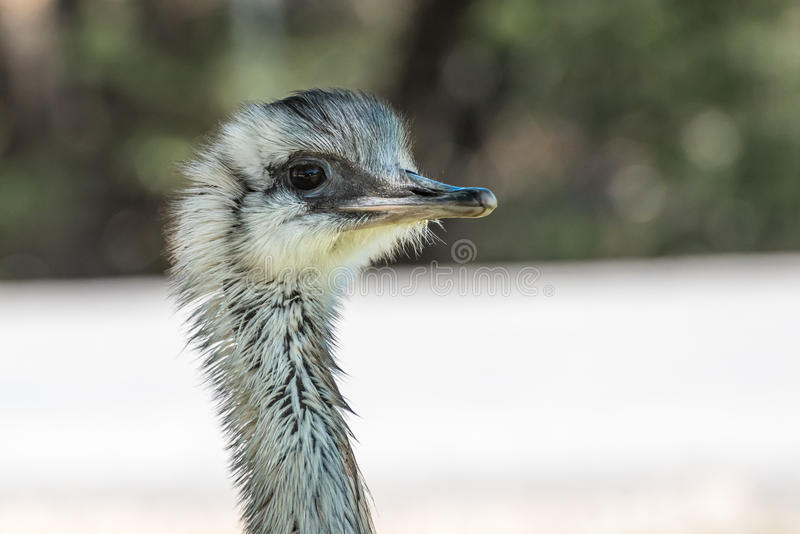 Closeup View of an ostrich head stock image