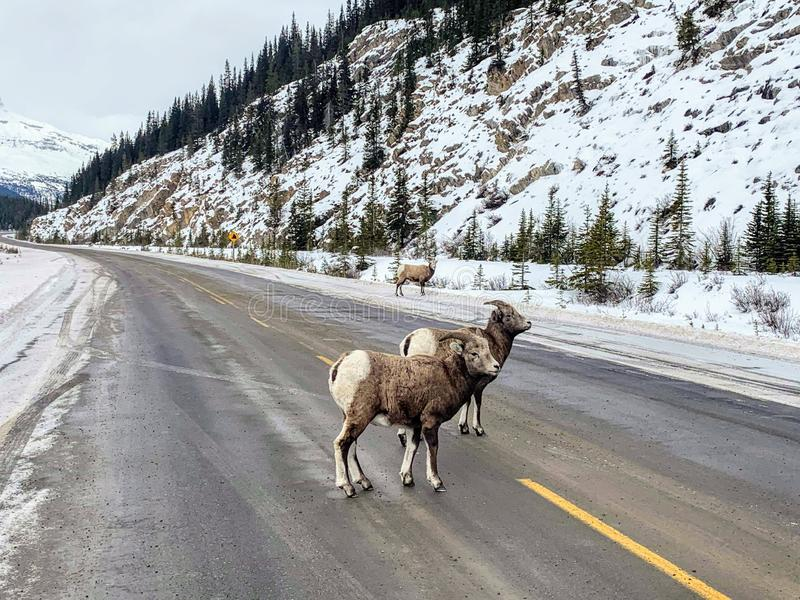 A closeup view of a pair of bighorn sheep, also known as Ovis canadensis, walking along the highway on a winter day in Jasper. National Park, Alberta, Canada stock photography