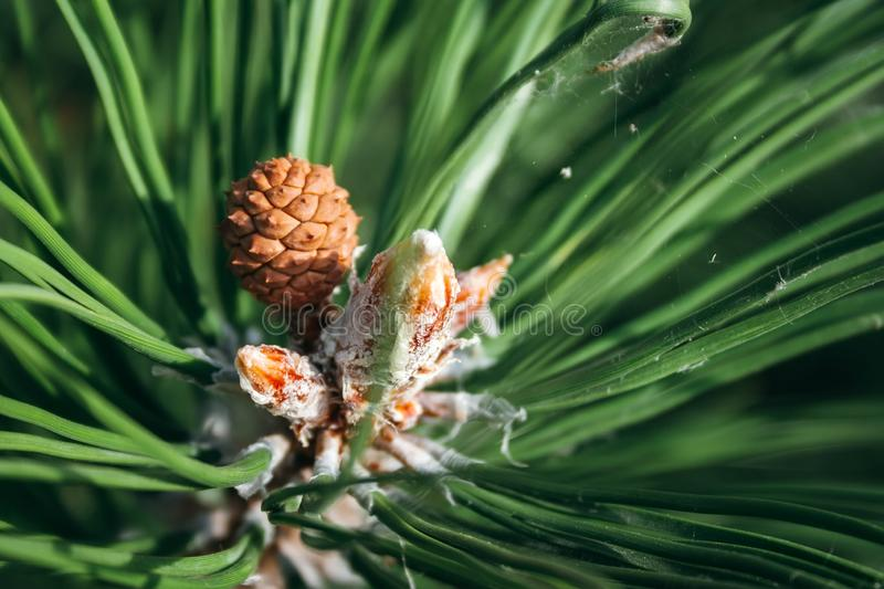 Closeup view of pine buds and a small cone among green needles. Macro of beautiful branches of an evergreen tree royalty free stock images