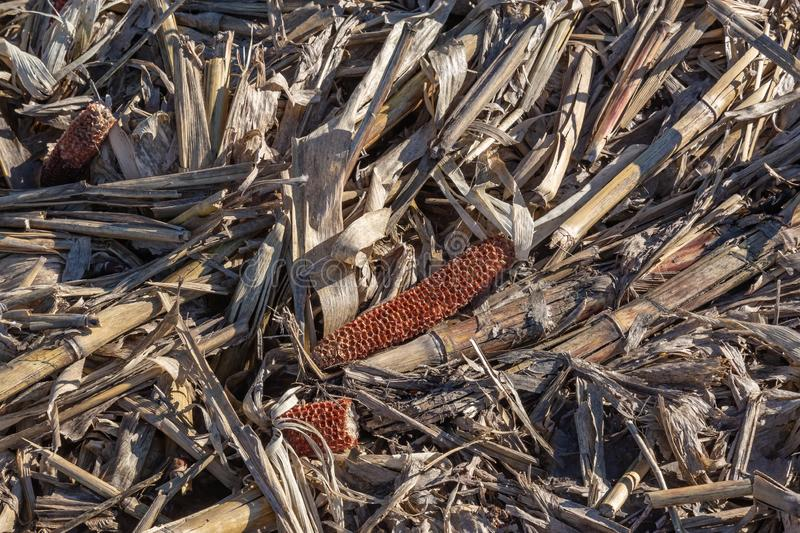 Closeup view of post harvest corn field showing cobs and broken stalks and husks royalty free stock image