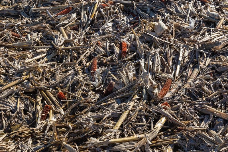 Closeup view of post harvest corn field showing cobs and broken stalks and husks royalty free stock photo