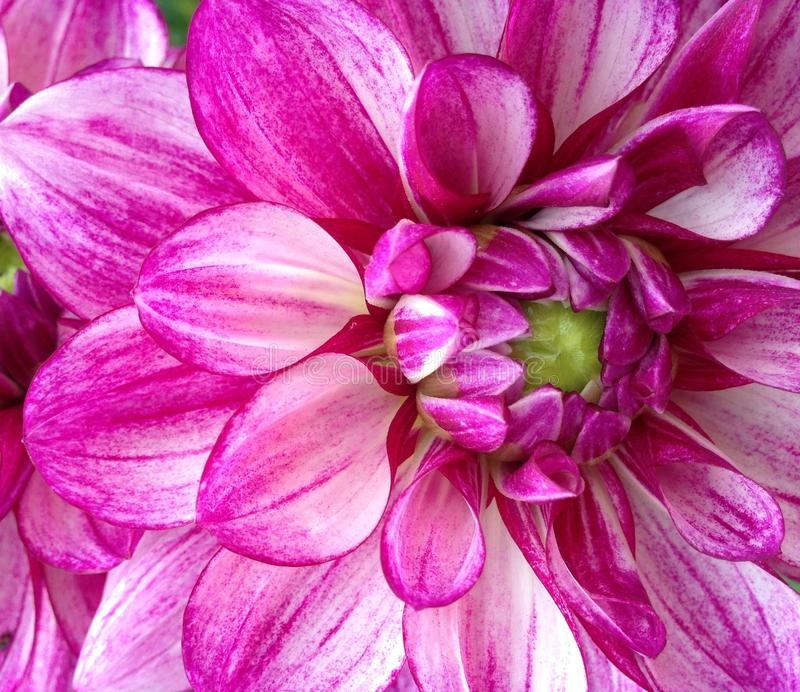 Closeup blossoming purple Dahlia flower stock photo