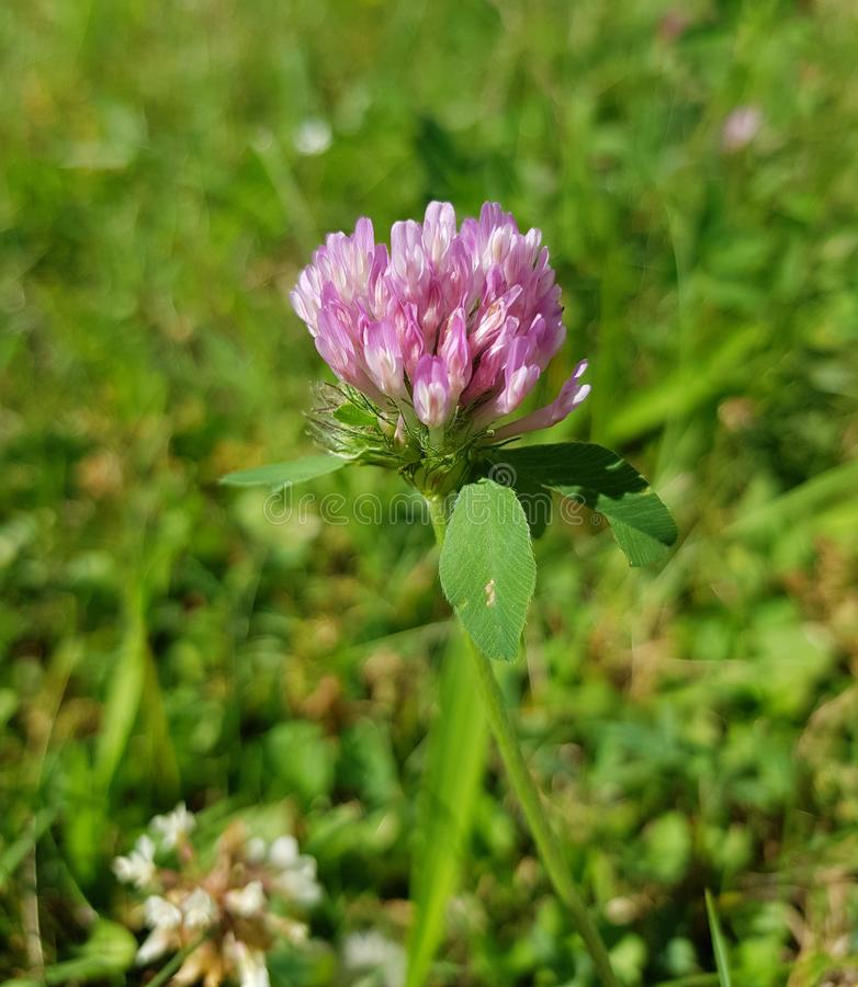 Trifolium pratense, the red clover. Closeup of the blossom. Closeup view of the red clover flower on a meadow. Trifolium pratense. The famous red clover royalty free stock images