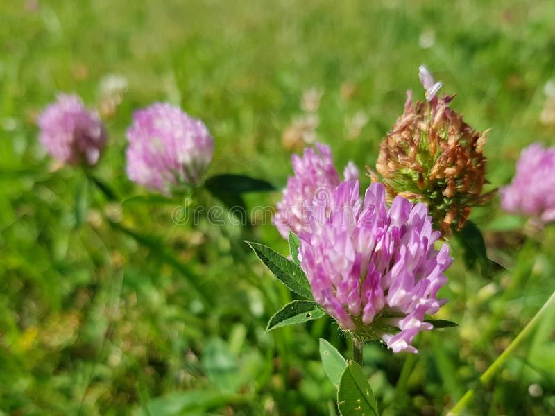 Trifolium pratense, the red clover. Closeup of the blossom. Closeup view of the red clover flower on a meadow. Trifolium pratense. The famous red clover royalty free stock image
