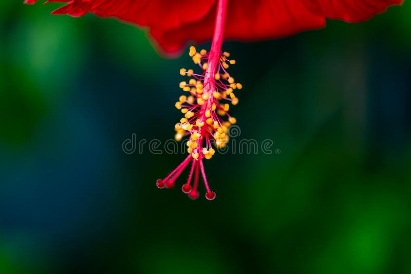 Closeup of Raindrops with reflection on a hibiscus stamens and pistils. Closeup view of reproductive organs of a red hibiscus showing the yellow stamens and red royalty free stock photos