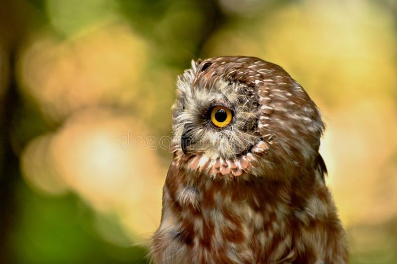 Closeup view of a saw whet owl staring off into the distance. Closeup of a saw whet owl a small North and Central American owl with a call that resembles the royalty free stock photo
