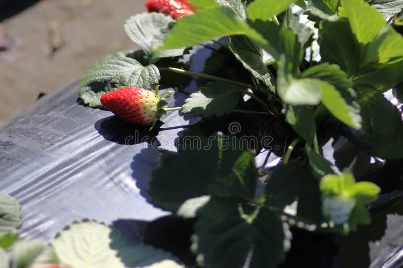 Closeup of a Strawberry n a farm stock images