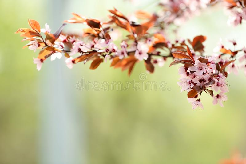 Closeup view of tree branches with tiny flowers outdoors. Amazing spring blossom. Closeup view of tree branches with tiny flowers outdoors, space for text royalty free stock image